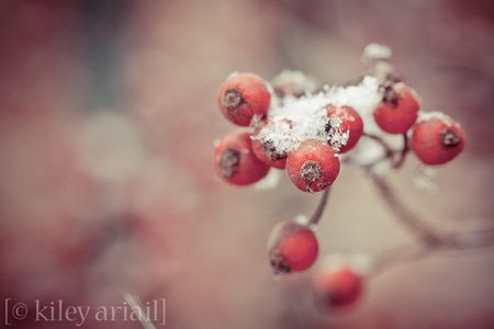 Rose berries snow (1 of 1)
